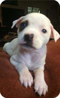Labrador Retriever/Boxer Mix Puppy for adoption in Eden Prairie, Minnesota - Len