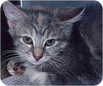 Domestic Mediumhair Cat for adoption in Owatonna, Minnesota - Ruby