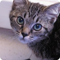 Domestic Shorthair Cat for adoption in Las Cruces, New Mexico - Frankie