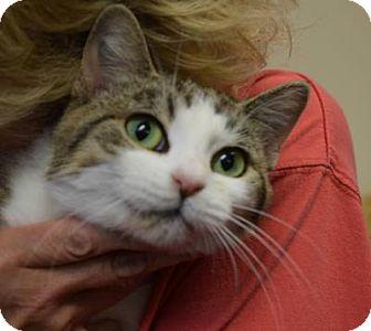 Domestic Shorthair Cat for adoption in Cincinnati, Ohio - Billiard: Pet Supplies+, Delhi