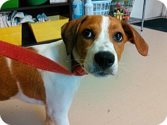 Beagle Mix Dog for adoption in Manhasset, New York - Cher