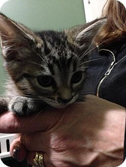 Domestic Shorthair Kitten for adoption in Hamilton, Ontario - Oskar