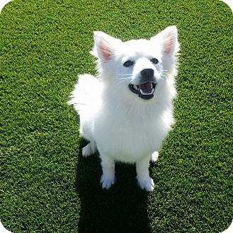 American Eskimo Dog Mix Dog for adoption in Litchfield Park, Arizona - Suka