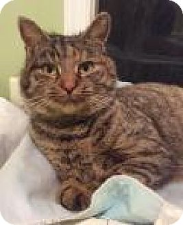 Domestic Shorthair Cat for adoption in Breinigsville, Pennsylvania - Willow