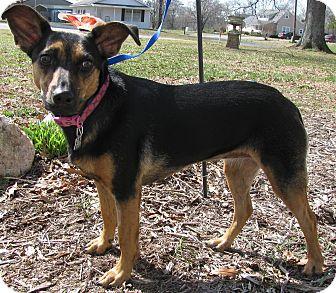 German Shepherd Dog/Feist Mix Dog for adoption in Newburgh, New York - Jane