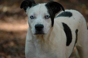 Australian Shepherd/Jack Russell Terrier Mix Dog for adoption in Lawrenceville, Georgia - Sky
