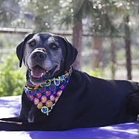 Labrador Retriever/Great Dane Mix Dog for adoption in Acton, California - Maddy