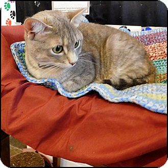 Domestic Shorthair Cat for adoption in Colorado Springs, Colorado - Moxie
