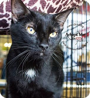 Domestic Shorthair Cat for adoption in Charlotte, North Carolina - A..  Reggie