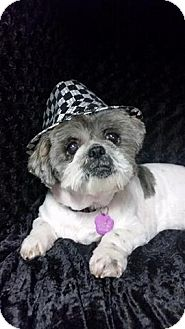 Shih Tzu/Lhasa Apso Mix Dog for adoption in Urbana, Ohio - Pancake Clark