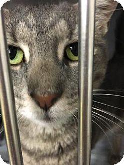 Domestic Shorthair Cat for adoption in Voorhees, New Jersey - Kori-PetValu Voorhees