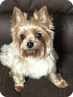 Yorkie, Yorkshire Terrier Mix Dog for adoption in Hobart, Wisconsin - Tobie