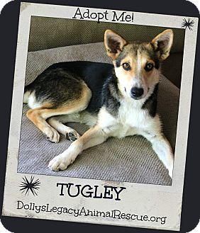 Shepherd (Unknown Type)/Australian Shepherd Mix Dog for adoption in Lincoln, Nebraska - TUGLEY