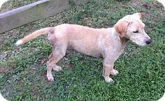 Golden Retriever/Labrador Retriever Mix Puppy for adoption in HAGGERSTOWN, Maryland - LUCY