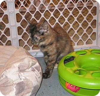 Calico Kitten for adoption in Geneseo, Illinois - Dawnpetal