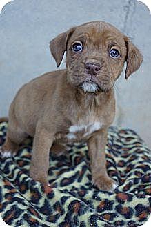 Boxer/St. Bernard Mix Puppy for adoption in West Nyack, New York - Dashi