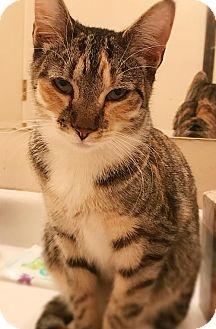 Domestic Shorthair Cat for adoption in Philadelphia, Pennsylvania - Briella *Video*