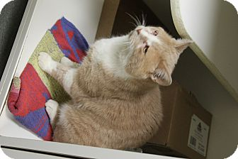 Domestic Shorthair Cat for adoption in Greensboro, North Carolina - Pacino