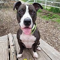 American Staffordshire Terrier Mix Dog for adoption in Lompoc, California - China