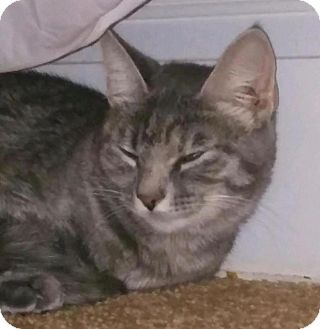 American Shorthair Cat for adoption in Greensburg, Pennsylvania - Callie