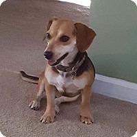 Adopt A Pet :: Gouchi - Bridgewater, NJ