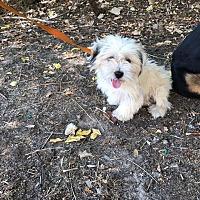 Adopt A Pet :: Muffin - East Hartford, CT
