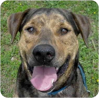 Catahoula Leopard Dog/Shar Pei Mix Dog for adoption in Charleston, Arkansas - Shemp