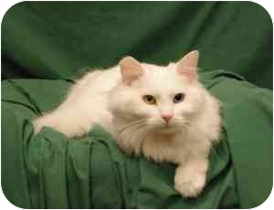 Turkish Angora Cat for adoption in Sacramento, California - Winter