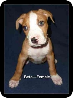 American Pit Bull Terrier/American Staffordshire Terrier Mix Puppy for adoption in Gilbert, Arizona - Beta