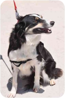 Border Collie Mix Dog for adoption in San Angelo, Texas - Lilly
