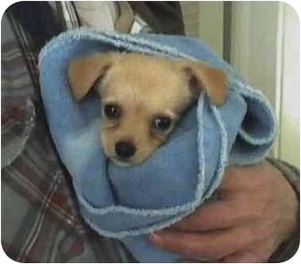 Chihuahua Puppy for adoption in Chicago, Illinois - Darla