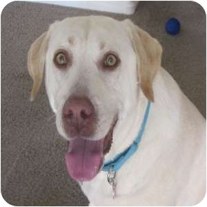 Labrador Retriever Dog for adoption in Phoenix, Arizona - Sandy