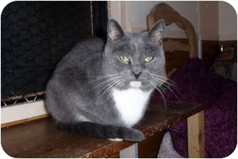 Domestic Shorthair Cat for adoption in Carneys Point, New Jersey - Providence