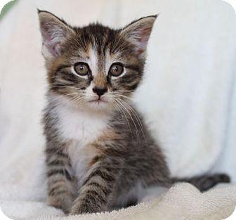 Domestic Shorthair Kitten for adoption in Winston-Salem, North Carolina - Kita