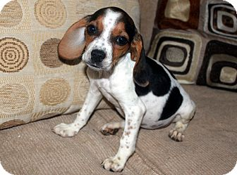Beagle Mix Puppy for adoption in Brazil, Indiana - Misty May