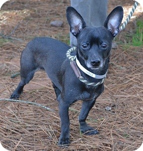Chihuahua/Terrier (Unknown Type, Small) Mix Dog for adoption in Athens, Georgia - Ty