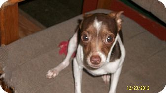 Chihuahua Dog for adoption in Kendallville, Indiana - Mickey