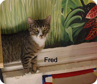 Domestic Mediumhair Cat for adoption in Catasauqua, Pennsylvania - Fred