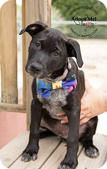 Cattle Dog/Labrador Retriever Mix Puppy for adoption in Gilbert, Arizona - Buddy