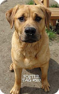 Golden Retriever Mix Dog for adoption in Lapeer, Michigan - FOSTER-FUN GOLDEN!