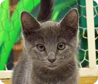Domestic Shorthair Kitten for adoption in Searcy, Arkansas - Nadine