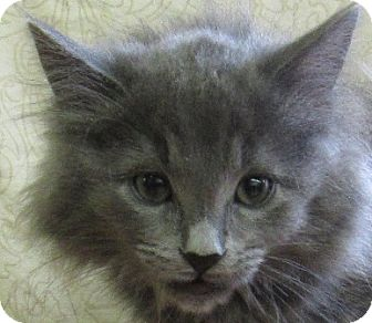 Manx Kitten for adoption in Lloydminster, Alberta - Scooter