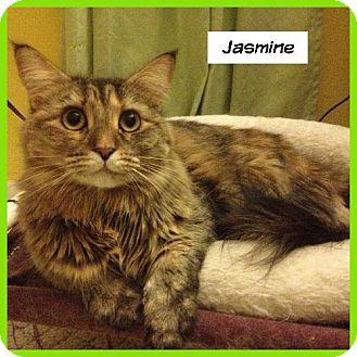 Domestic Longhair Cat for adoption in Miami, Florida - Jasmine