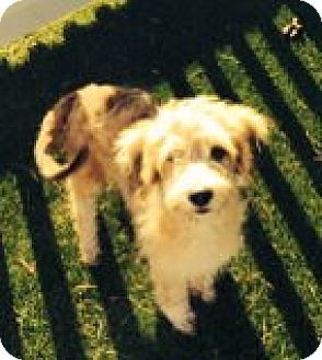 Labradoodle Mix Puppy for adoption in Santa Ana, California - Bandit