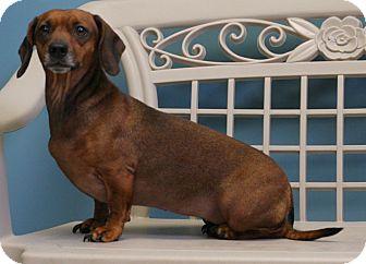 Dachshund Dog for adoption in Staunton, Virginia - Jezebel