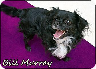 Chihuahua Mix Dog for adoption in Wheaton, Illinois - Bill Murray
