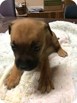 Pit Bull Terrier/Labrador Retriever Mix Puppy for adoption in Loogootee, Indiana - Randy