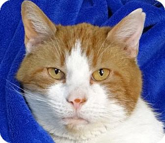 Domestic Shorthair Cat for adoption in Renfrew, Pennsylvania - Dreamsicle