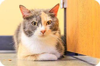 Domestic Shorthair Cat for adoption in Larned, Kansas - Alice
