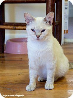 Siamese Cat for adoption in Huntsville, Alabama - Jin